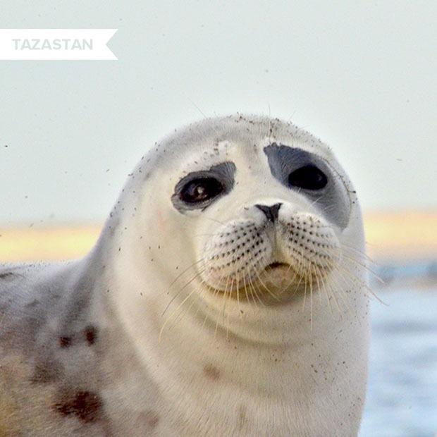 Почему гибнут каспийские тюлени — вид, который больше нигде не встречается