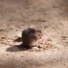 Исследование: Мыши грустят, когда видят страдания других мышей