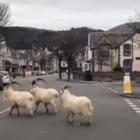 Козы разбежались по улицам в Англии. Ловить их некому, жители на карантине