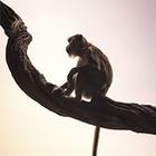 Илон Маск: Мы вживили обезьяне в мозг чип. Теперь она играет в видеоигры