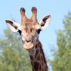 В Алматинском зоопарке родился жирафенок
