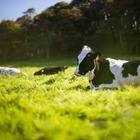 В Актау на территории отеля Rixos коровы поедали лужайку