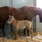 В США клонировали лошадь Пржевальского, умершую 22 года назад