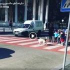Бездомная собака в Грузии помогает детям переходить дорогу