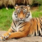 В Казахстане планируют разводить тигров