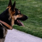 Десятилетний мальчик собрал 315 тысяч долларов на бронежилеты для собак