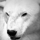 В Алматинском зоопарке умер белый медведь Алькор