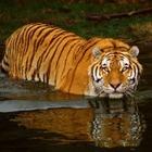 Китай отправил ДНК южно-китайского тигра в космос