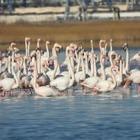 Фламинго вернулись в Актау