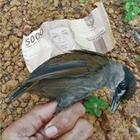 Орнитологи обнаружили в Индонезии птицу, пропавшую 170 лет назад