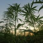 Правительство Таиланда легализовало марихуану