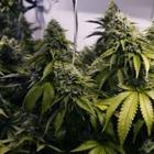 Девять килограмм марихуаны изъяли у учителя истории в Туркестанской области