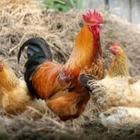 Вспышку птичьего гриппа зарегистрировали в Северо-Казахстанской области