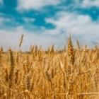 В Казахстане намололи 5,5 миллионов тонн зерна