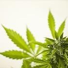 47 кустов и два мешка марихуаны: в Алматы обнаружили нарколабораторию