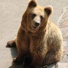 В Алматинском зоопарке родились тяньшанские медвежата. Их наконец-то показали