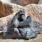 В зоопарке Сан-Диего обезьян привили от коронавируса