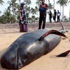 На Шри-Ланке 120 черных дельфинов выбросились на берег