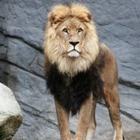 В пригороде Актау гулял лев. Хозяину теперь грозит до трех лет тюрьмы