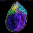 Американские ученые создали первую 3-D карту нейронов сердца