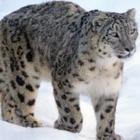 Снежного барса заметили в нацпарке «Алтын-Эмель»