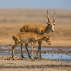 В ЗКО браконьеры заплатят миллиардный штраф за рога сайгаков