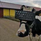 В России коровам надевают VR-очки с летним пейзажем. Фермеры хотят снизить стресс животным