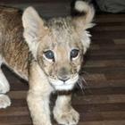 В алматинском зоопарке умерла львица