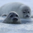 Каспийского тюленя включат в Красную книгу Казахстана