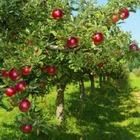 Музей, посвященный яблокам, откроется в Алматы