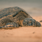 Техасцы спасают замерзающих черепах