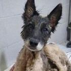 В Аргентине спасли собаку, которая упала в яму со смолой