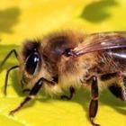 В инстаграме появился первый блогер-пчела
