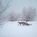 На территорию БАО вернулись снежные барсы и медведи