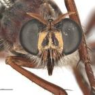 Новые виды мух названы в честь Стэна Ли и четырех персонажей Marvel