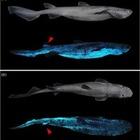 Ученые нашли акул, светящихся в темноте