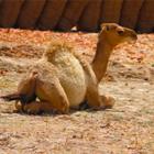 Подарок дня: В Эмиратах мужчина украл верблюда для своей девушки