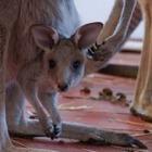 Серый кенгуру родился в зоопарке Алматы