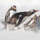 Итальянские ученые: Речь пингвинов похожа на человеческую