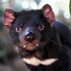 В дикой природе в Австралии впервые за 3 тысячи лет родились тасманские дьяволы