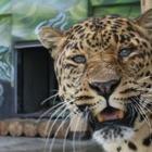 В алматинском зоопарке усыпили леопарда