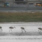 На место засыпки озера Малый Талдыколь прилетели фламинго