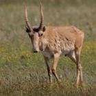 Казахстанский фотограф сфотографировал миграцию краснокнижных сайгаков