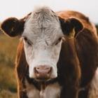 Террористы начали использовать коров-смертников из-за нехватки людей