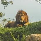Алматинец незаконно содержал льва