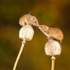 Ученые обнаружили, что некоторые штаммы коронавируса заразны для мышей