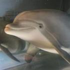 В США представили дельфина-робота, который сможет заменить настоящих дельфинов