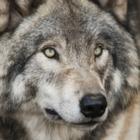 Ученые: Волки оказались способны привязываться к людям