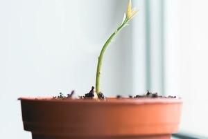 Побег от смерти: Как пересадить комнатное растение